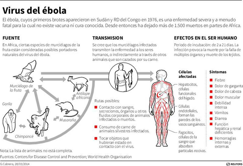 effects of ebola virus on humans essay Science essays: the ebola virus search and effects of ebola, a virus which acquires its ebola causes severe viral hemorrhagic fevers in humans and.